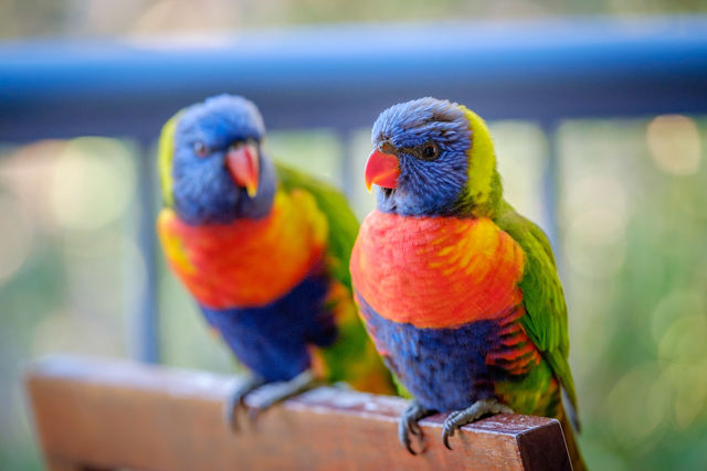 Rainbow lorikeets at our apartment balcony